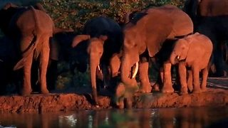 Adorable moment where elephant herd saves baby elephant from drowning
