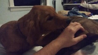 Puppy refuses to let owner pet another dog