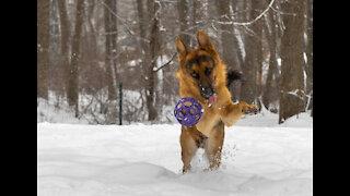 German Shepherd loves to play in snow