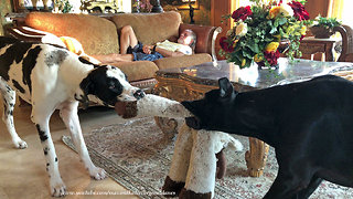 Trying to Nap with Funny Growling Great Danes