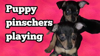 Puppy pinschers playing