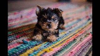 Chatty German Shepherd puppy