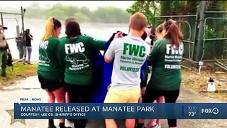 Manatee released at Manatee Park