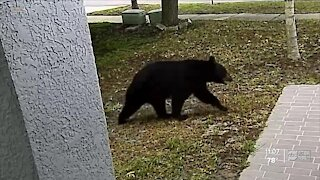 Homeowners spot black bear again in Pinellas County