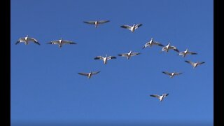 Snow Geese in Richmond, BC, Canada.