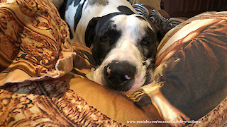 Tired Great Dane Loves To Snuggle Up In Pillows