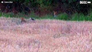 Hai mai visto una volpe e un tasso giocare insieme?