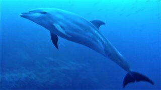 Scuba divers find themselves surrounded by curious dolphins