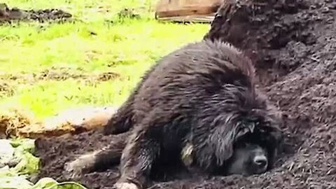 Newfoundland caught rolling around in the compost heap