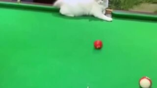 Funny kitten helps human sink a pool shot