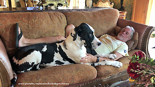 Loving Great Dane Loves To Snuggle On The Sofa