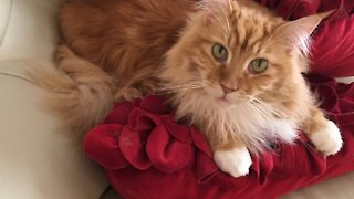 Playful kitty sweetly plays with his cat toys