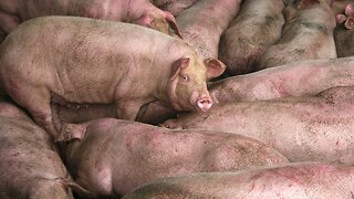 African Swine Fever Kills 1 Million Pigs In China