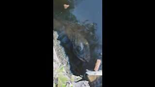Giant Alligator Snapping Turtles