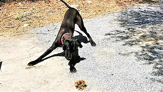 Great Dane puppy is adorably angry with leaves on her driveway