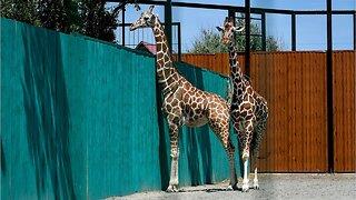 Two giraffes killed by lightning strike at a Florida Safari park