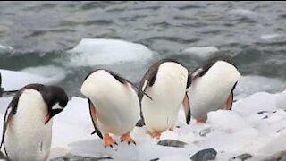 In Antartide i pinguini sembrano non avere la testa