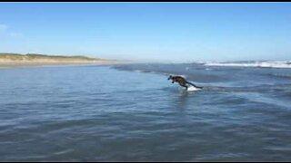 Søt wallaby nyter bølgene på en strand i Australia
