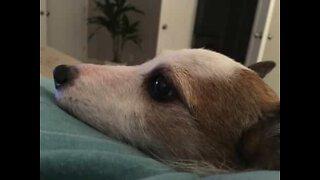 Il cane che detesta l'aspirapolvere con tutto sé stesso
