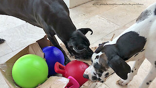 Excited Great Danes Have Great Fun Opening Gift Box Of Balls