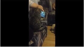 """Cat """"conductor"""" watches symphony video on smartphone"""