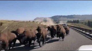 Herd of bison invade road in Montana