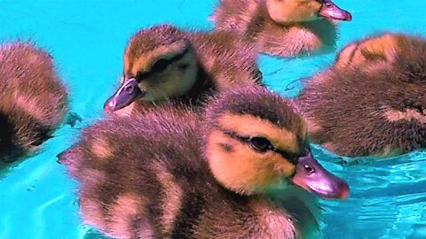 Orphaned ducklings happily play in the water at foster home