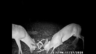 Young Texas Bucks Sparring
