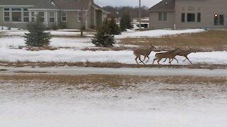 Deer Running Through My Back Yard