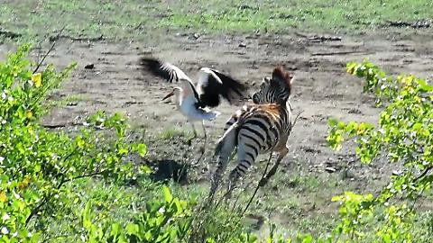 Playful Baby Zebra Loves Chasing The Storks