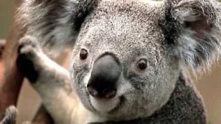 Did you ever koala's make this sound?