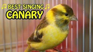 canary bird singing.best singing !