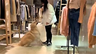 Golden Retriever literally can't leave owner's side
