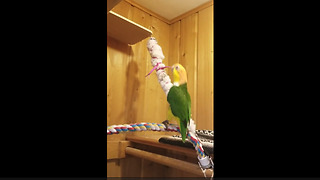 Hilarious parrot literally can't stop dancing