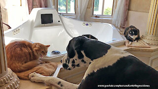 Hissy cat explains social distancing to intrusive Great Dane