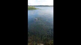 Manatees swimming.