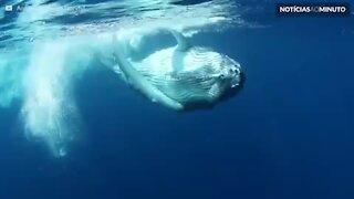 Filhote de baleia se diverte ao dançar para câmera!