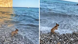 French Bulldog sees ocean waves for the first time