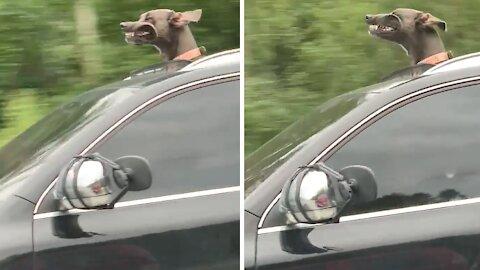 Great Dane puppy sticks head through sunroof during car ride
