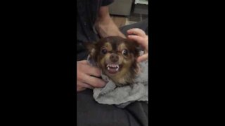 Cute Chihuahua Dog Bites Baby in Super Slow Motion
