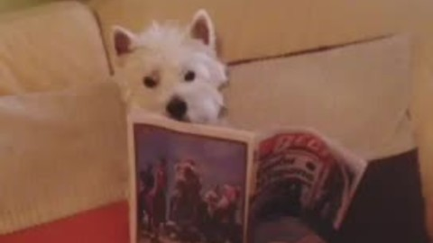 Informed Westie enjoys reading newspaper