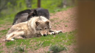 Open house on bringing wolves back to Colorado
