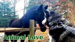 Friendly Husky Tries To Make Acquaintance With A Neighborhood Horse