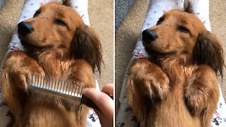 Extremely relaxed puppy falls asleep while being brushed