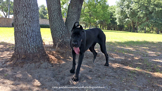 Funny Happy Great Dane Loves to Dig