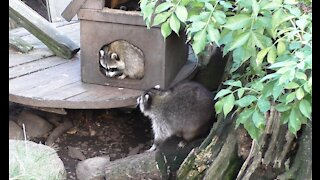 House for raccoon