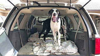 Excited Great Danes Can't Wait To Go For A Car Ride