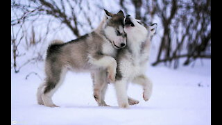 Baby Alaskan Malamute Cutest and Funniest Moments New Compilation 😍|