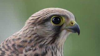 Woman rescues hawk stuck in fence