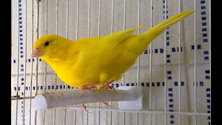 Belgian canary singing a lot